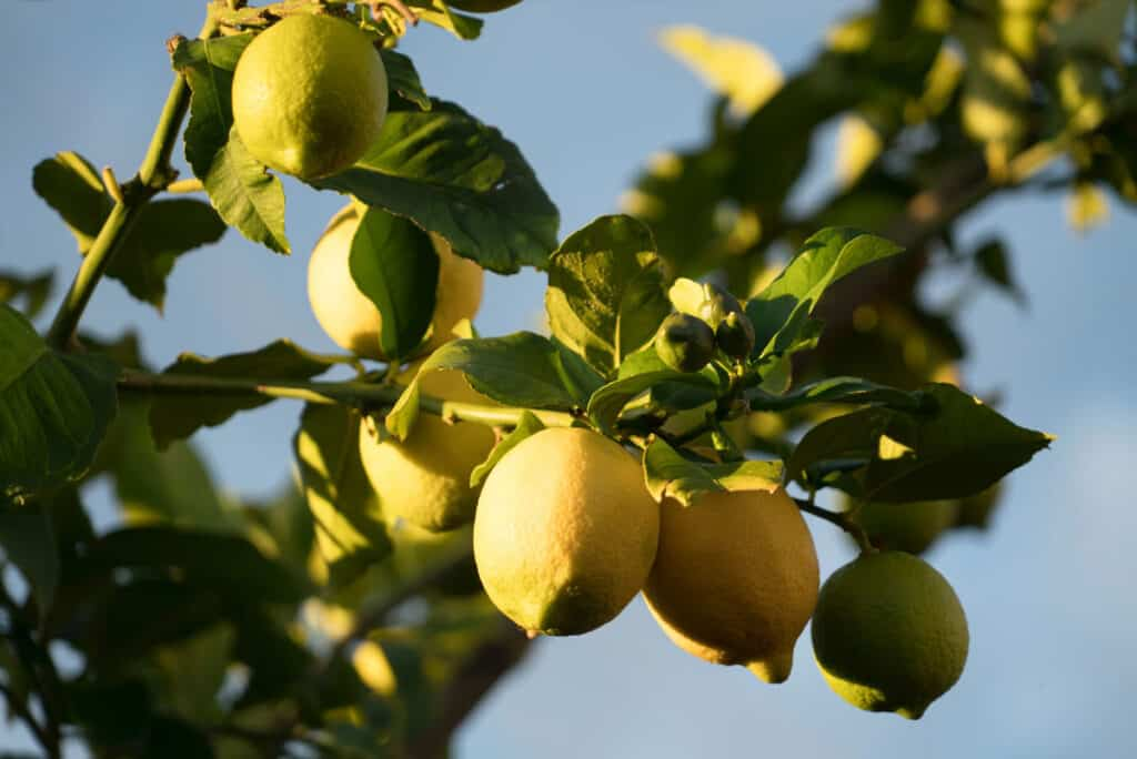 Lemons still attached to the lemon tree