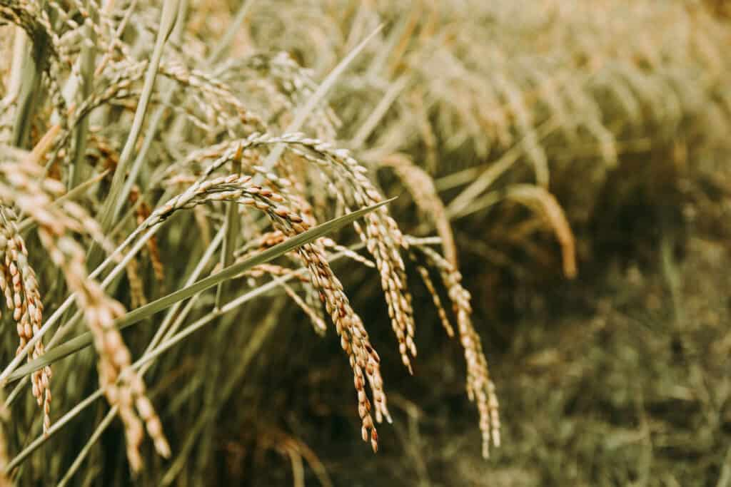 Rice grains that haven't been harvested